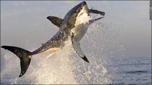 The splendour and horror of a great white shark weighing two tons leaping 10ft from the water as it closes inevitably on its victim.
